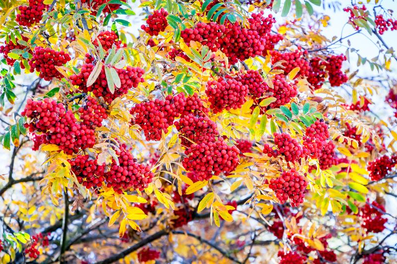 The mountain ashberry with red berries on a sunny day_ royalty free stock images