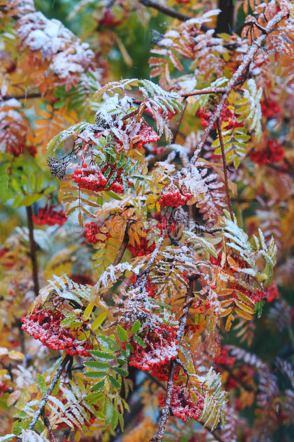 Mountain ashes covered with hoarfrost. Berries and branches of mountain ash covered with hoarfrost royalty free stock photos