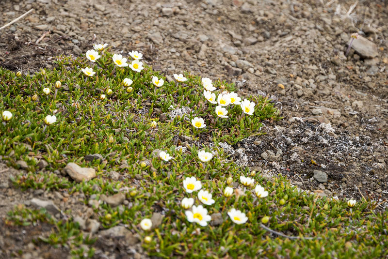 Mountain avens (Dryas octopetala) blossoming during arctic summe royalty free stock images