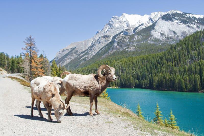 Download Mountain Bighorn Sheep stock image. Image of green, canadian - 23893437