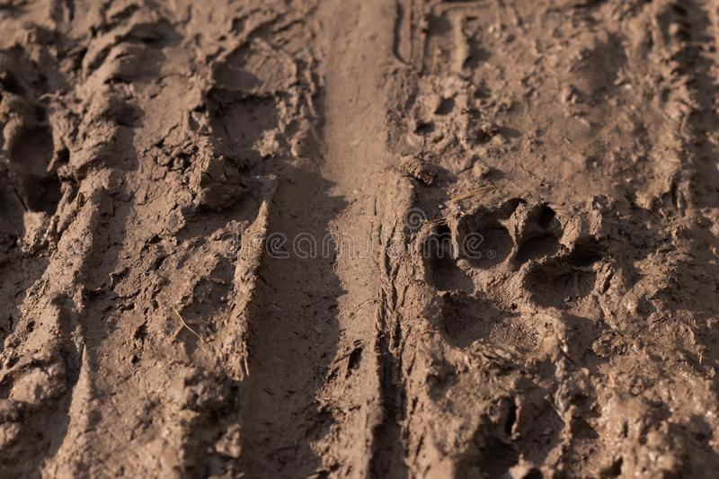 Mountain bike tire tracks and dog paw prints left in fresh wet mud by mountain bikers and dog walkers. Walk the dog in any weather. Concept, dirt, background royalty free stock image