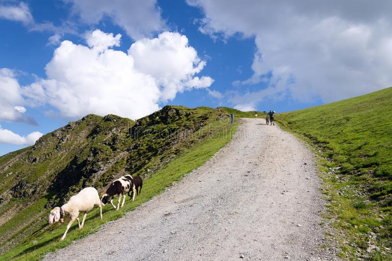 Mountain bikers push bikes to Hacklberg trail startin at the Schattberg West cable car station with sheep in foreground, Saalbach-. Hinterglemm, Austria, sunny royalty free stock photo