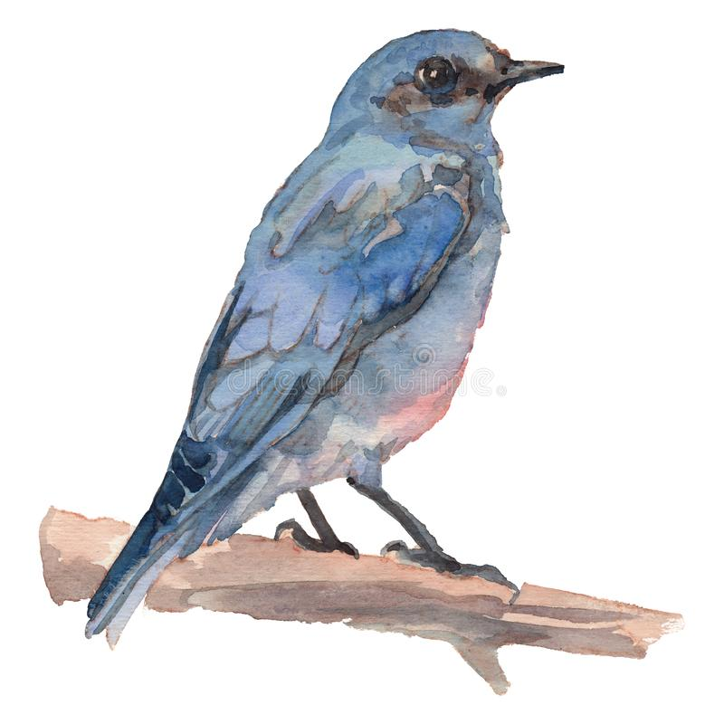 The mountain bluebird. Watercolor hand painted drawing of bird vector illustration