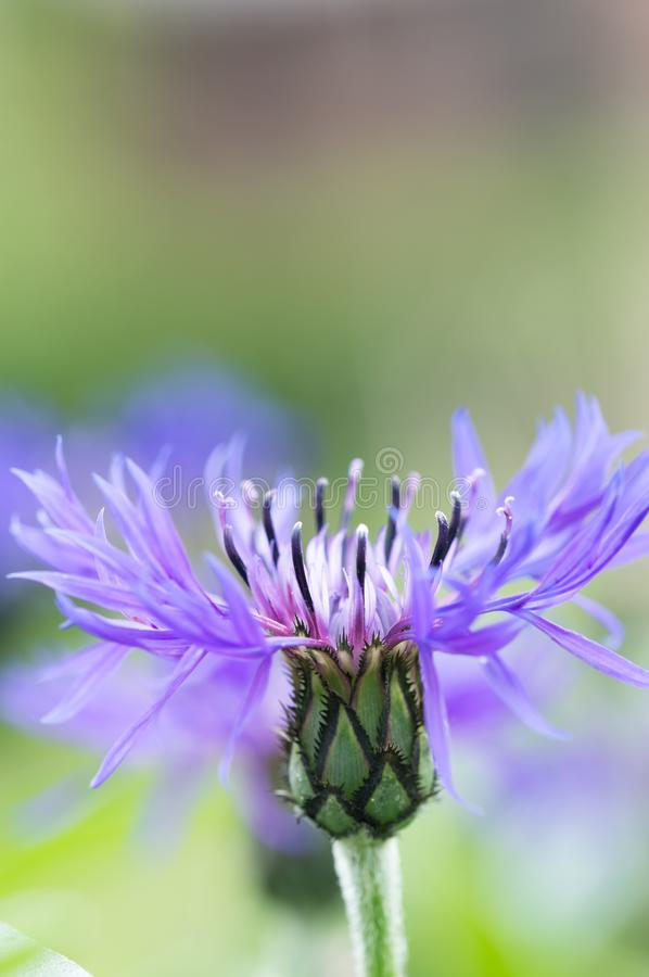 A beautiful purple Mountain Bluet Flower also known as Centraurea Montana stock photography