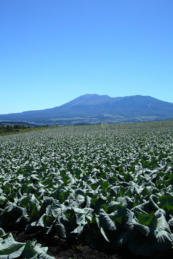 Mountain and cabbage field. In japan royalty free stock image