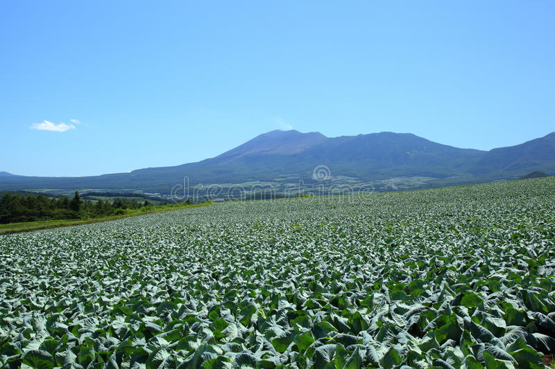 Mountain and cabbage field. In japan stock images