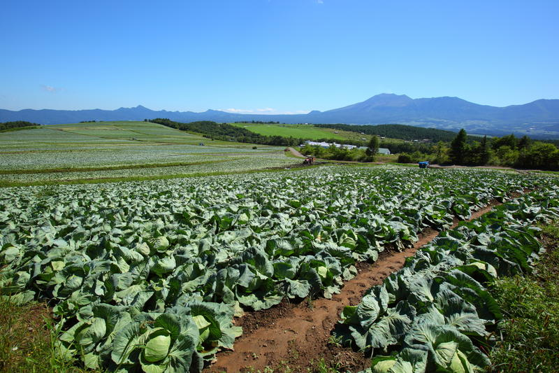 Mountain and cabbage field. In japan stock photos