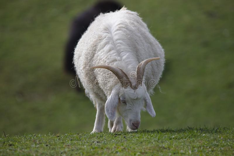 Mountain cashmere goat grazing royalty free stock photography