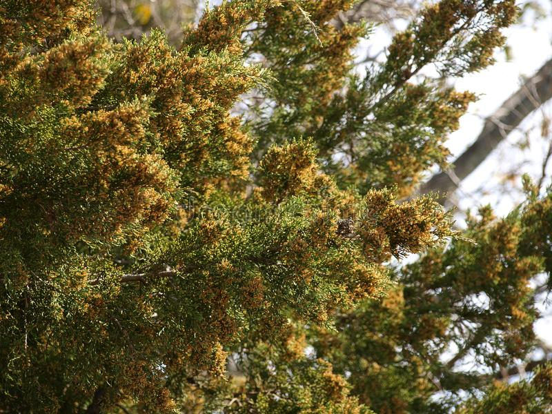 Mountain Cedar PollenPods Plentiful This Year. This mountain cedar tree is loaded with the cause of much discomfort for those with allergies this time of year stock image