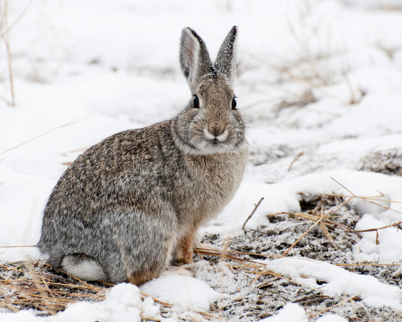 Mountain Cottontail on Snow royalty free stock photography