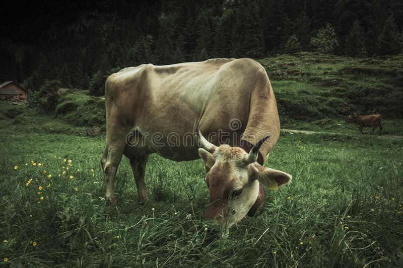 Mountain cow with horns who is grazing outside at pasture land. Mountain cow with horns grazing outside at pasture land stock image