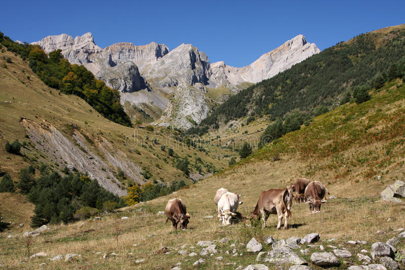 Download Mountain cows stock photo. Image of hike, hill, agriculture - 21423842