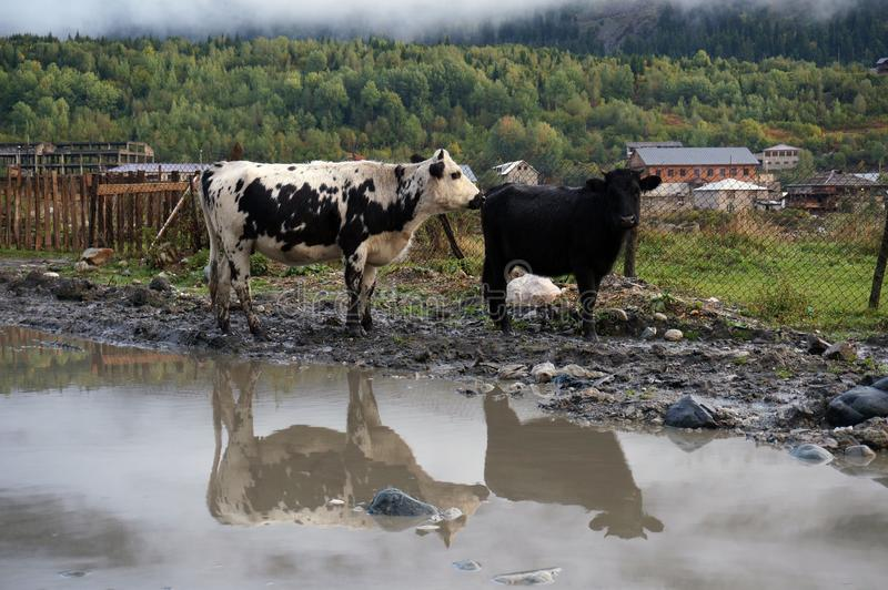 Mountain cows with gleam in the pool. Georgia, Svaneti region, Mestia, Causasus. Two cows with gleam in the pool. One black, one white with black spots. Green royalty free stock photography