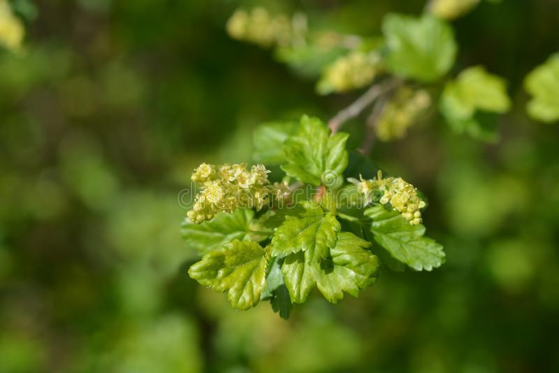 Mountain currant. Latin name - Ribes alpinum stock photo