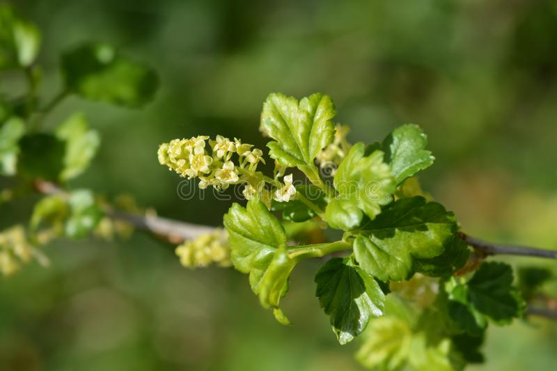 Mountain currant. Latin name - Ribes alpinum royalty free stock images