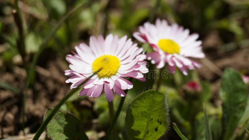 Mountain daisies royalty free stock images