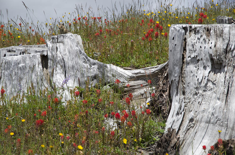 Mountain dead and wild flowers. Dead tree and wild flowers at Mt. St Helen, Washington state, USA royalty free stock image