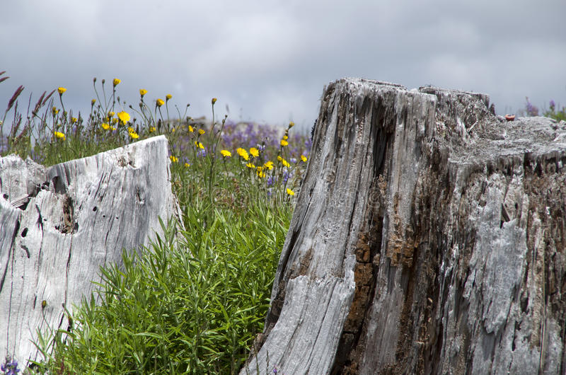 Mountain dead and wild flowers. Dead tree and wild flowers at Mt. St Helen, Washington state, USA royalty free stock photo