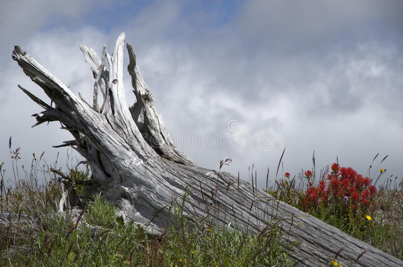 Mountain dead wood and wild flowers. Dead tree and wild flowers at Mt. St Helen, Washington state, USA stock photos