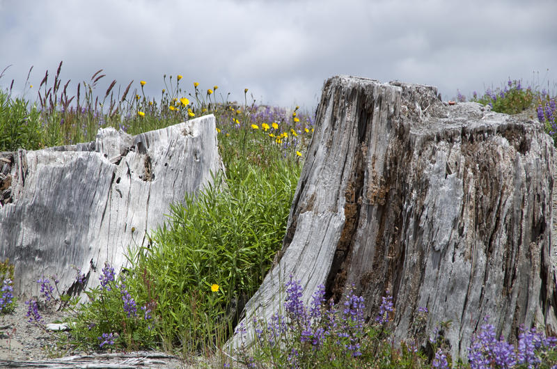 Mountain dead wood and wild flowers. Dead tree and wild flowers at Mt. St Helen, Washington state, USA stock images