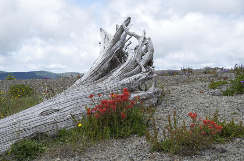 Mountain dead wood and wild flowers. Dead tree and wild flowers at Mt. St Helen, Washington state, USA royalty free stock photography