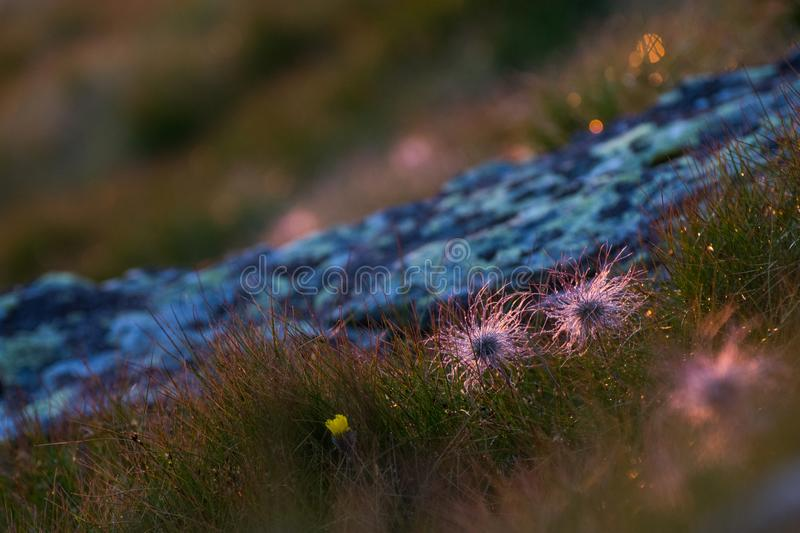 Detail of mountain decor with wild flowers, grass, rocks and dew drops in the morning. Mountain decor with wild flowers, grass, rocks and dew drops in the stock image