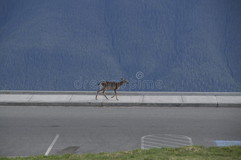 Mountain deer Olympic National Park. Deers were all over the mountains of Olympic National Park, Washington, USA royalty free stock images