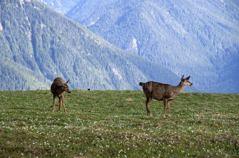 Mountain deers Olympic National Park. Deers were all over the mountains of Olympic National Park, Washington, USA royalty free stock photos