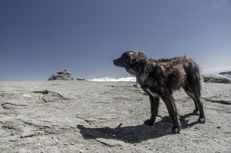 Mountain dog on a high rocky plateau. In Bucegi Mountains, Romania royalty free stock image