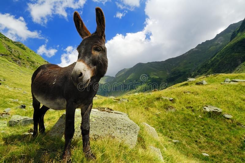 Mountain donkey on green field royalty free stock photo