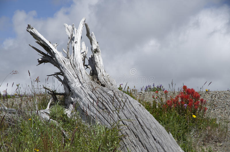 Mountain dead wood and wild flowers. Dead tree and wild flowers at Mt. St Helen, Washington state, USA royalty free stock photo