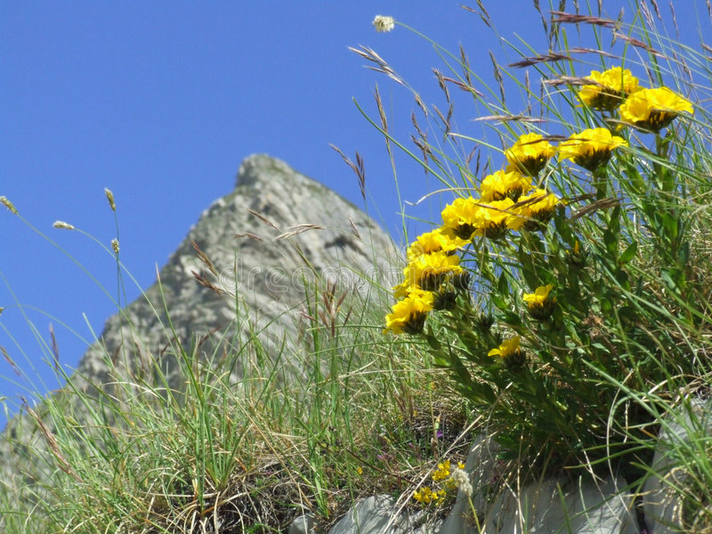 Mountain Durmitor. Flowers on the mountain Durmitor in Montenegro stock images