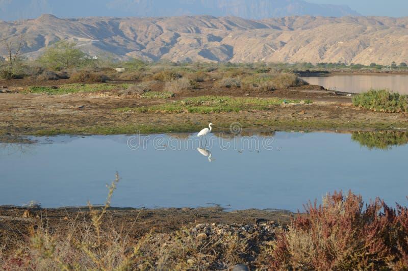 Mountain and flamingo bird nurture viewing in Oman royalty free stock photo
