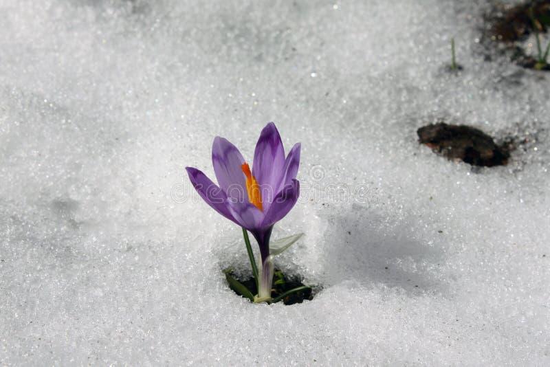 Mountain flower royalty free stock photos