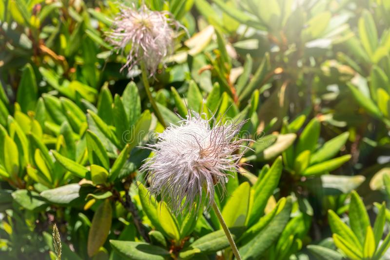 Mountain flower in the form of a fluffy ball Dryad, Dryas octopetala royalty free stock image