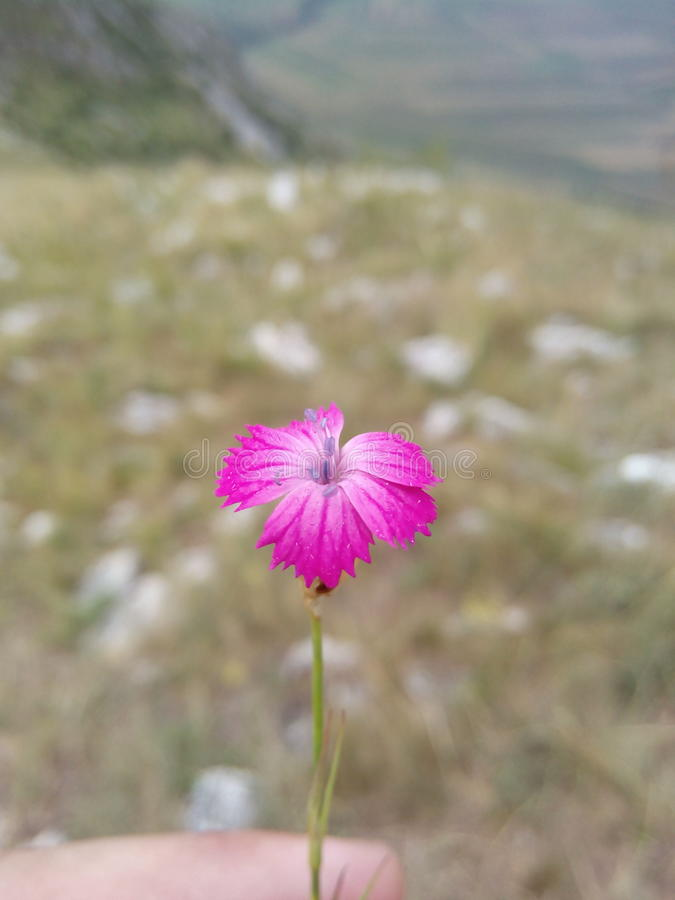 Mountain Flower stock photography