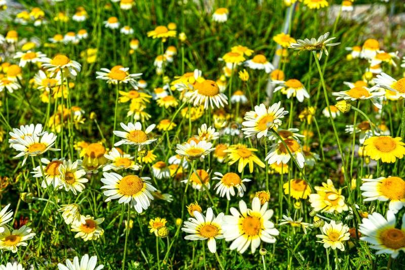 Mountain flower royalty free stock image