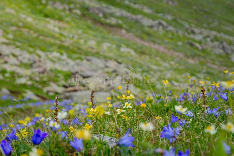 Mountain flowers blossoming royalty free stock images