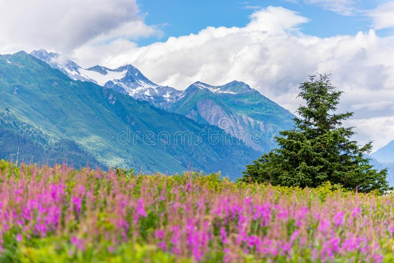 Mountain with foreground Fireweed flowers and cloudy sky Alaska stock images
