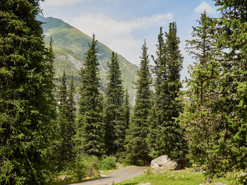 Mountain forest in the daytime warm sun. Mountain road among bright green high fir trees in the background peeks around the mountain stock images