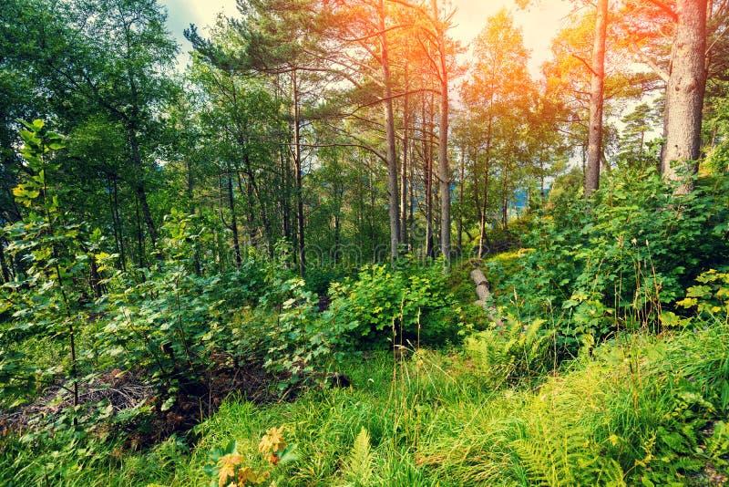 Forest on Aksla mountat sunset .  Beautiful nature of Norway. Mountain forest at sunset on Aksla mount. Beautiful nature of Norway stock images