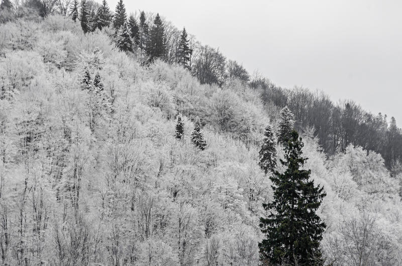 Mountain forest with white trees, winter time with snow.  stock photo