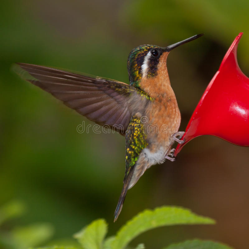 Mountain-gem Hummingbird From Costa Rica At Feeder Royalty Free Stock Image