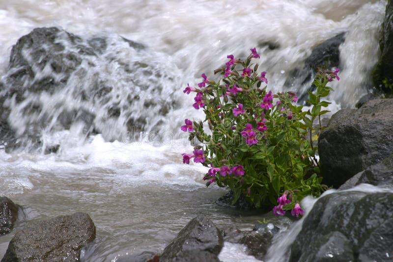 Mountain Glacier Stream Flowers. Glacial Stream spring runoff at Mount Hood Mazama Trail Alpine Meadows, with Lowbush Penstemon thriving at stream side royalty free stock photo