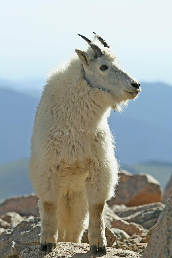 Free Mountain Goat Royalty Free Stock Photo - 15038665