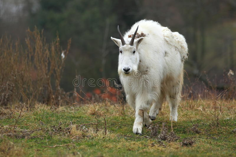 Mountain goat. The approaching mountain goat in the grassland royalty free stock photo
