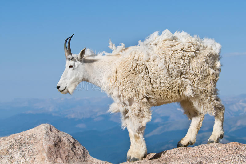 Mountain Goat 3 stock images