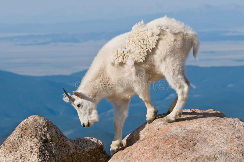 Download Mountain Goat 4 stock photo. Image of colorado, cold - 14860644