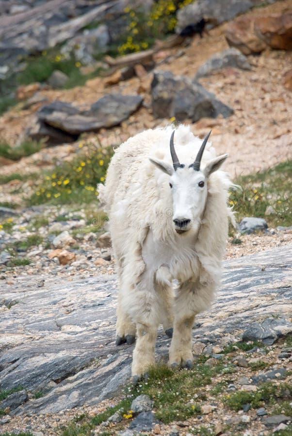 Free Mountain Goat Royalty Free Stock Photos - 51132278