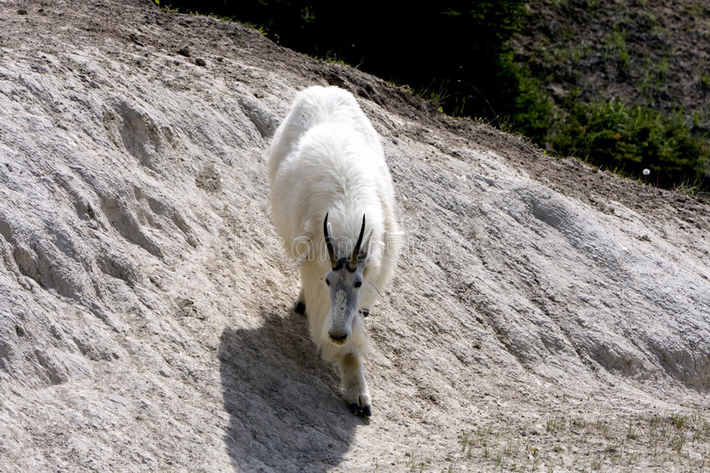 Mountain goat. royalty free stock photography